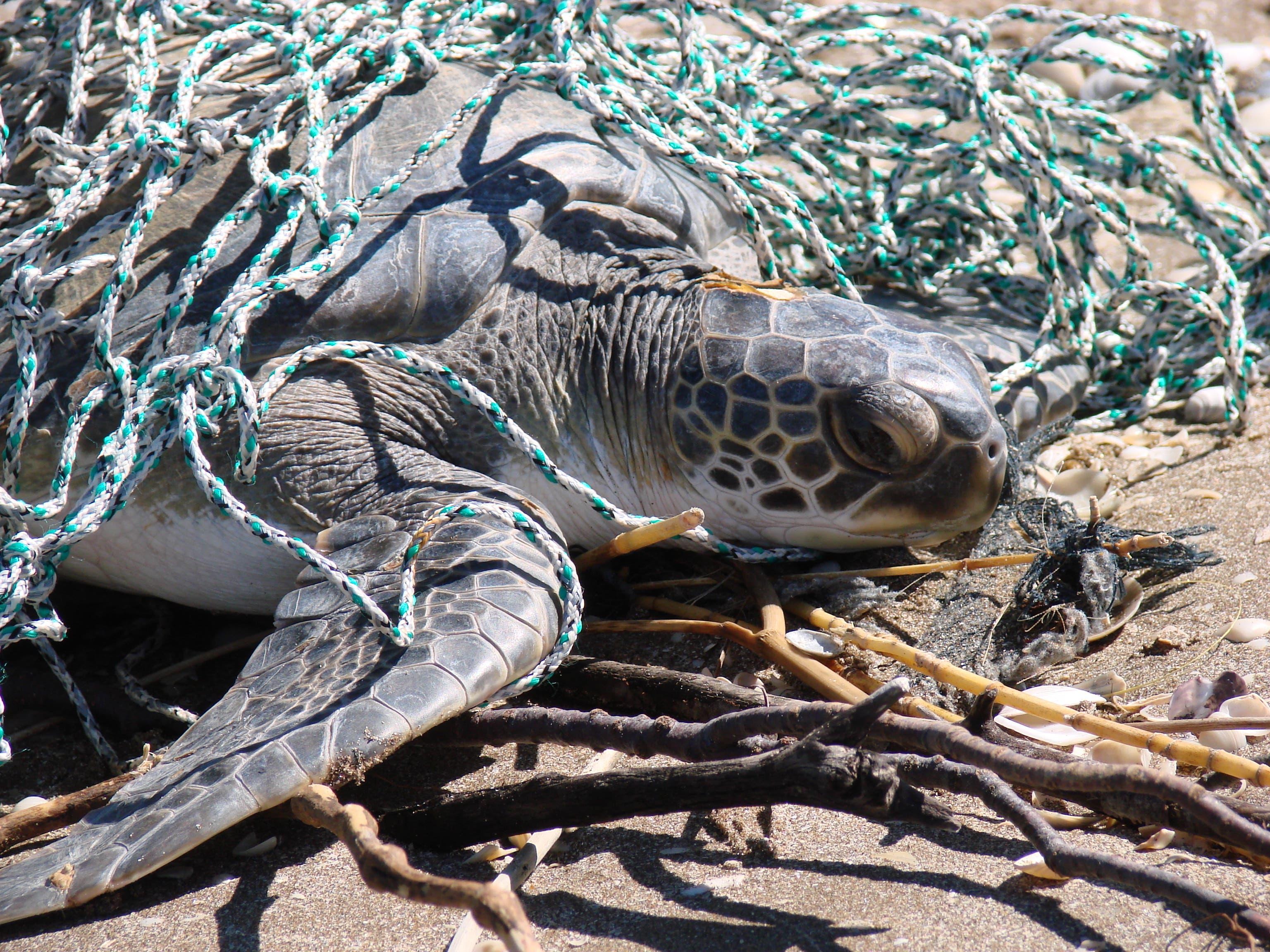 El 97% de las tortugas marinas rescatadas tienen plástico en su estómago