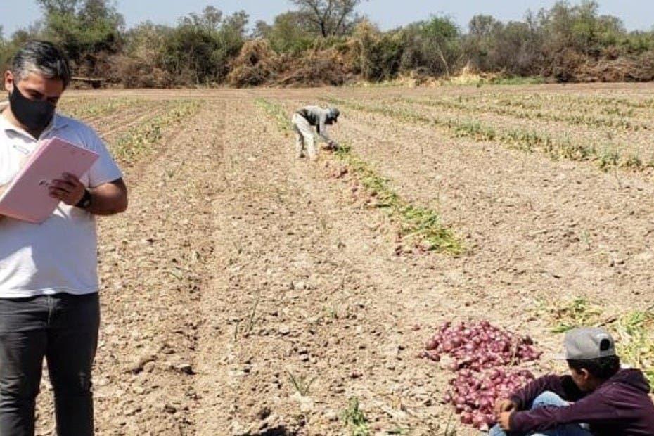 Explotación infantil en Santiago del Estero: encuentran a niños cosechando cebollas