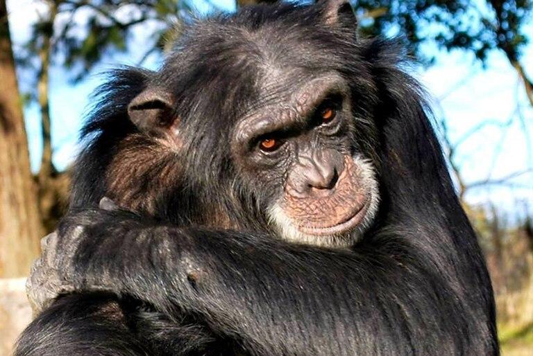 chimpances:-¿que-pasara-con-los-cinco-que-viven-en-zoologicos-del-pais?